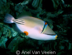 Picasso triggerfish and reef reflection taken at Sharksba... by Anel Van Veelen 